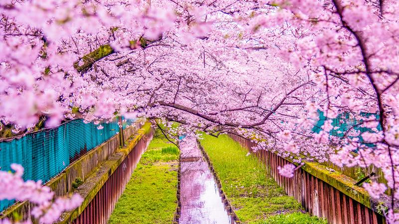 the cherry blossoms 2