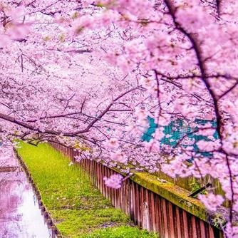 The Cherry Blossoms In Japan