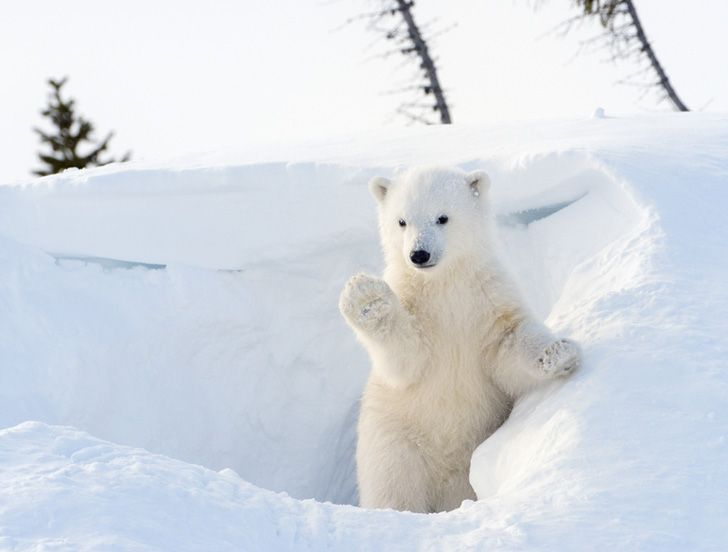 Polar Bear Cub Emerging compressor